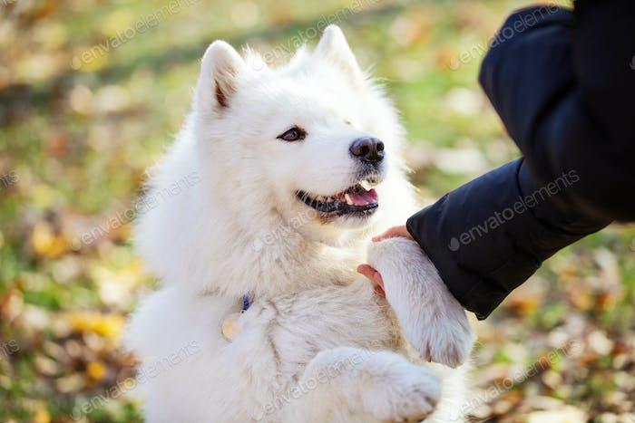 Glückliche samoyed Hund geben Pfote Besitzer im freien