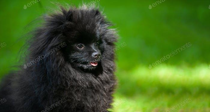 Black pomeranian spitz on a background of green grass