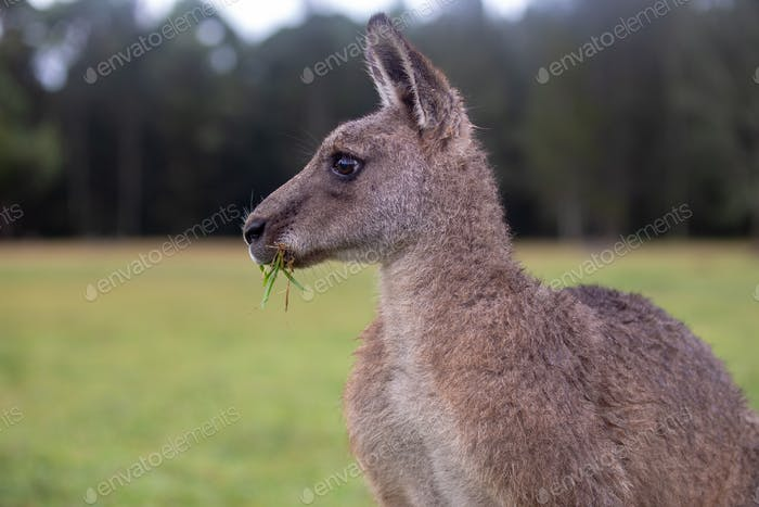 Eastern Grey Cangaroo