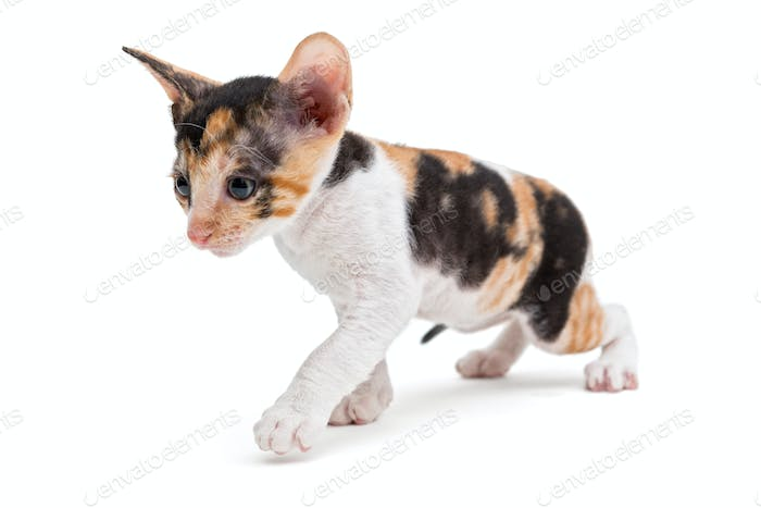 Little kitten Cornish Rex