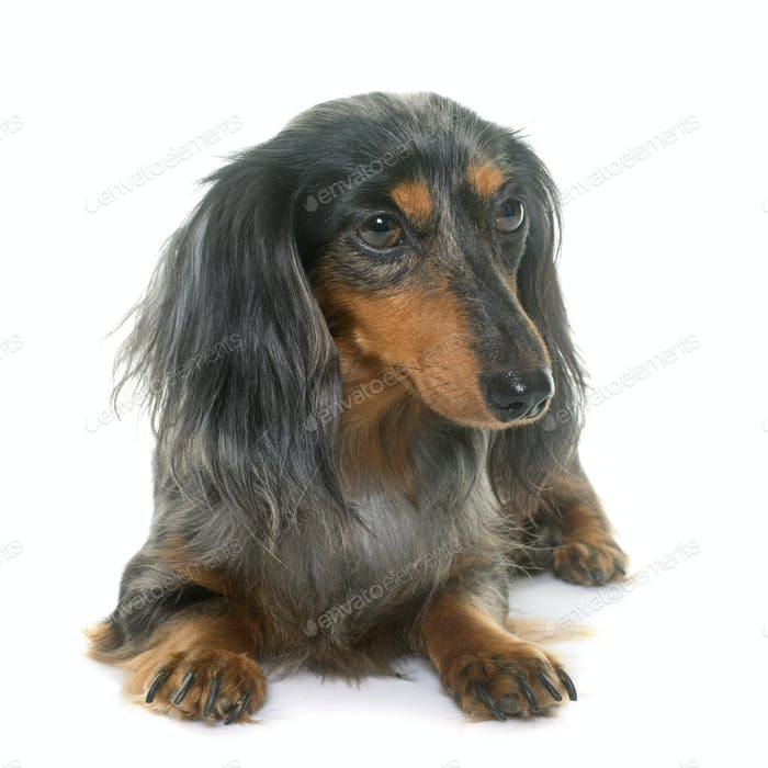 dachshund  in studio