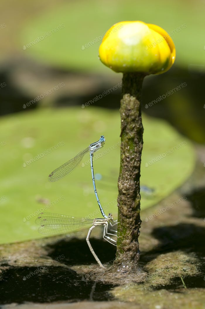Mating Damselfly