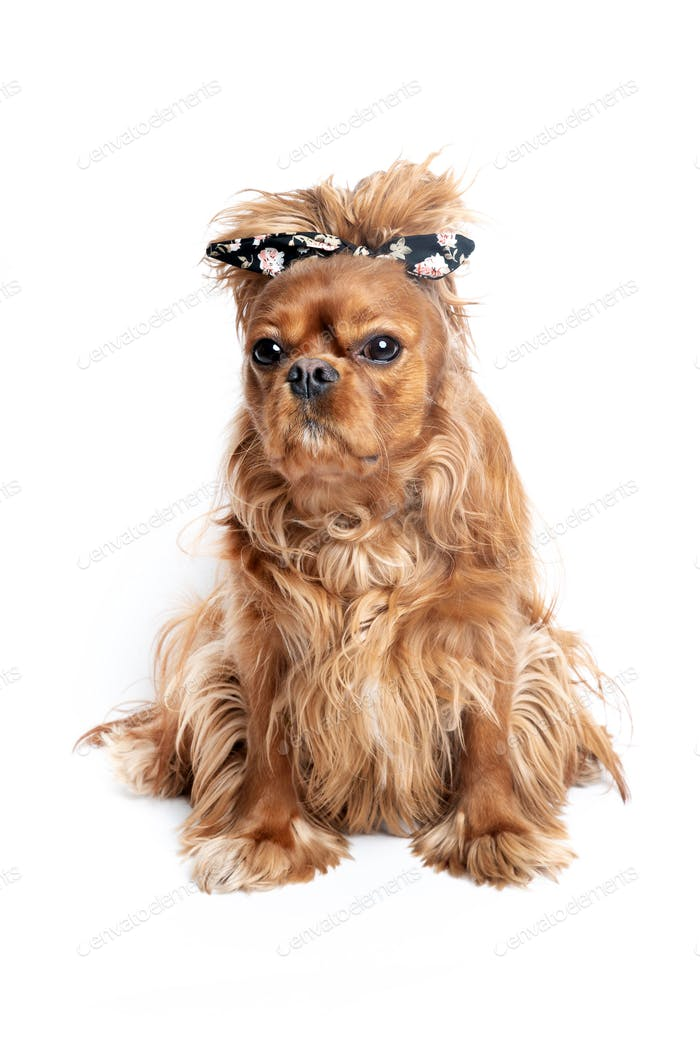 Funny dog with messy hair