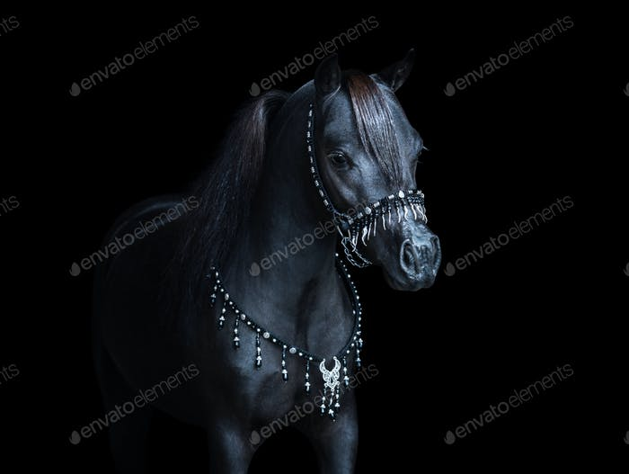 Portrait on black backgound of black American Miniature Horse.