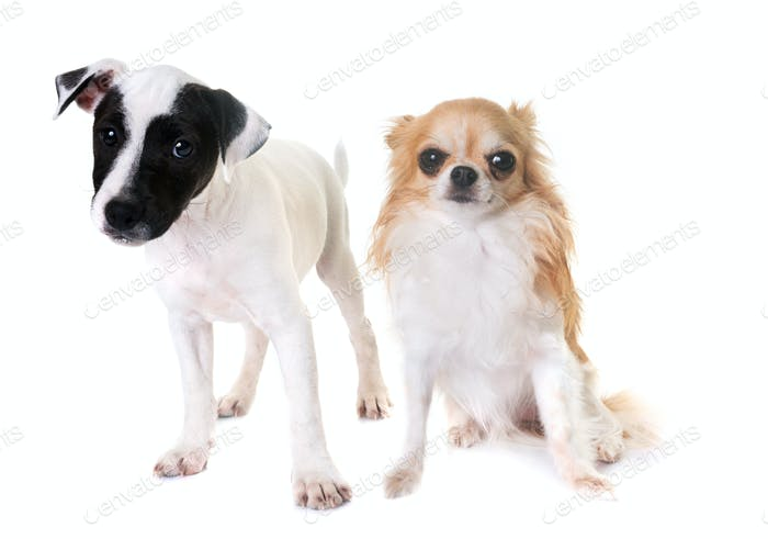 puppy jack russel terrier and chihuahua