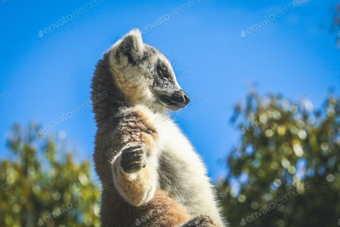 Lemur sunbathing on a rock