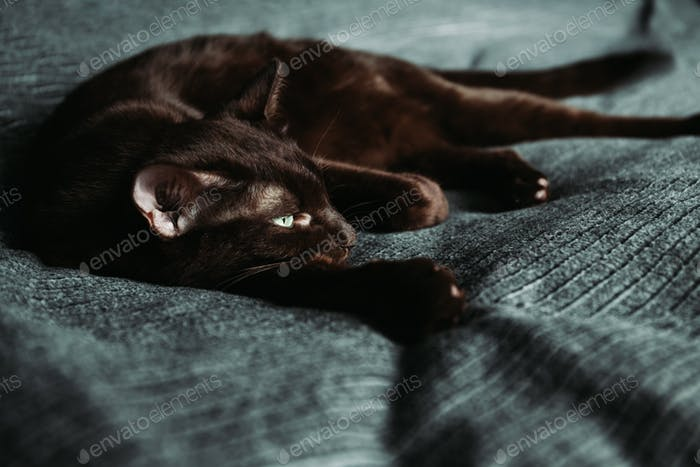 Brown oriental domestic cat lies on a grey bedcove