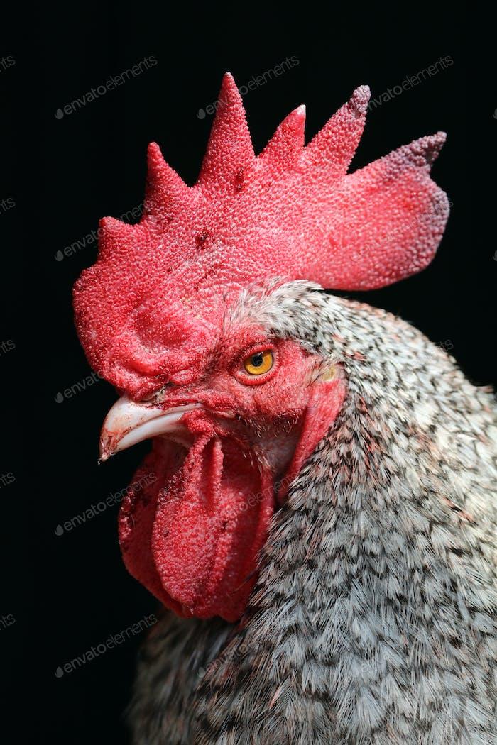 Holländisches Blaues Huhn