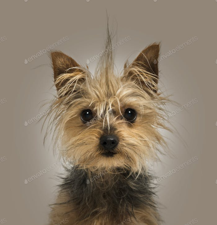 Yorkshire Terrier with a crest, sitting, looking at the camera,1 year old, on a brown background