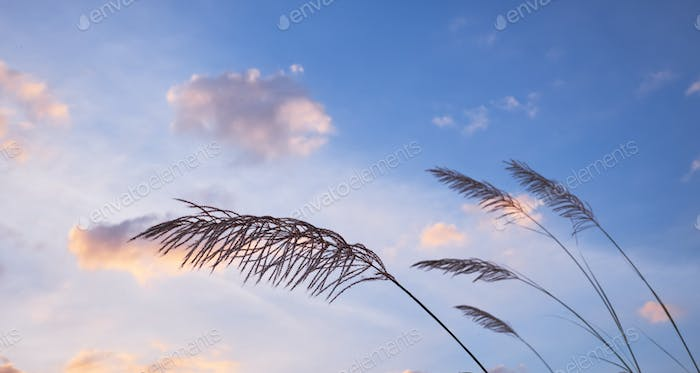 Grass with cloudy sky in windy day