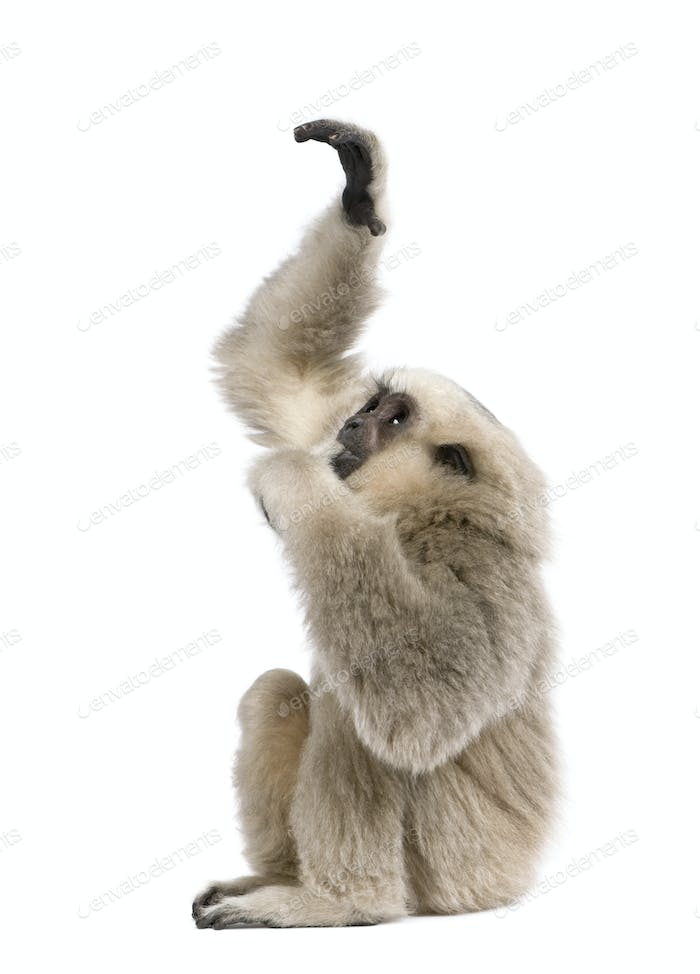 Young Pileated Gibbon, 4 months old, reaching up in front of white background