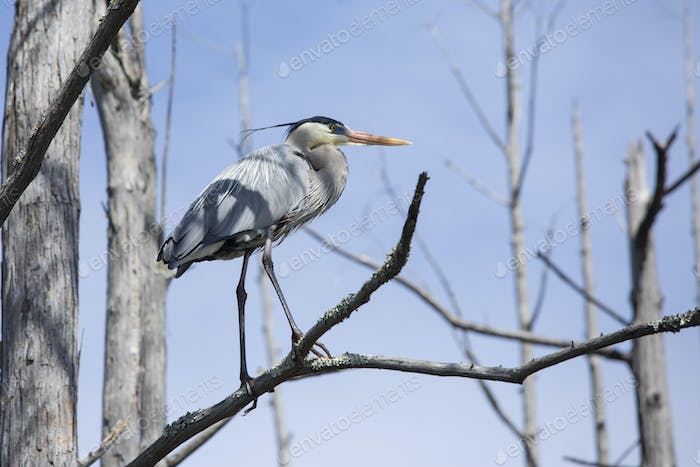 Great blue heron (ardea herodias) perched in a tree in the Okefenokee swamp of Georgia, USA.