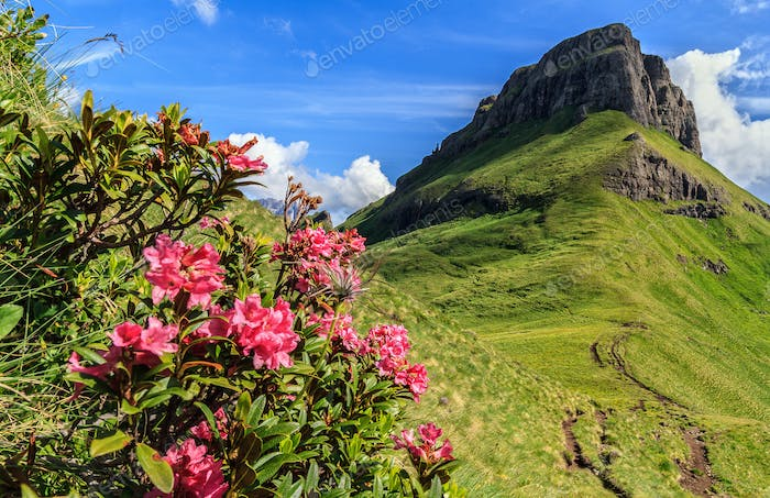 rhododendron flowers in Dolomites