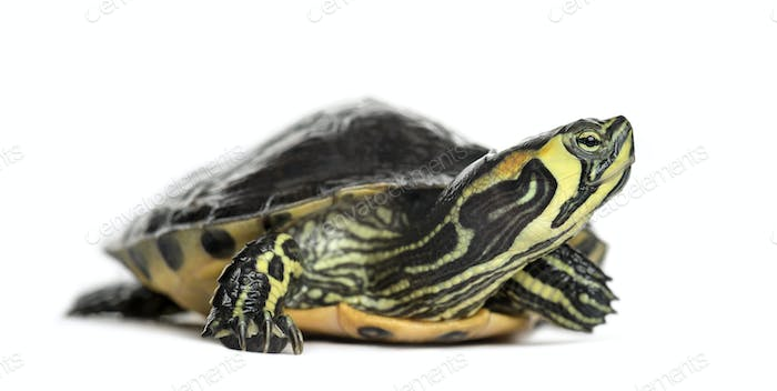 Pond slider turtle, isolated on white