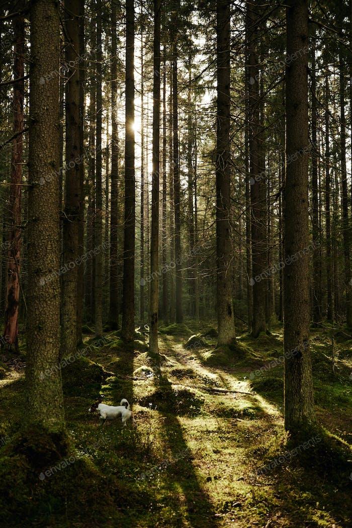 Sonnenlicht fließt durch einen Kiefernwald