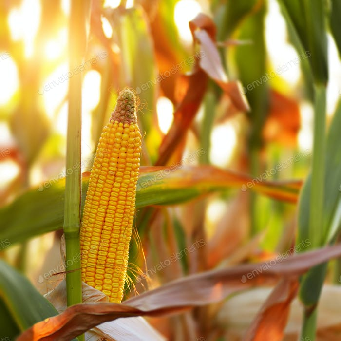 Backlit Ripe Corn of Maize on stalks at the field ready for harv