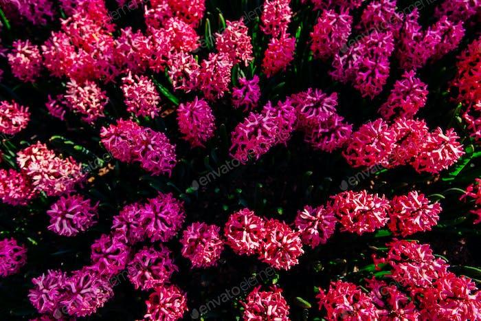 Fantastic flowers in spring flowerbed. Pink hyacinths