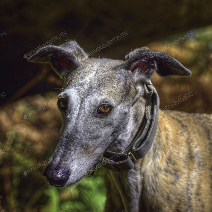 light brown greyhound square