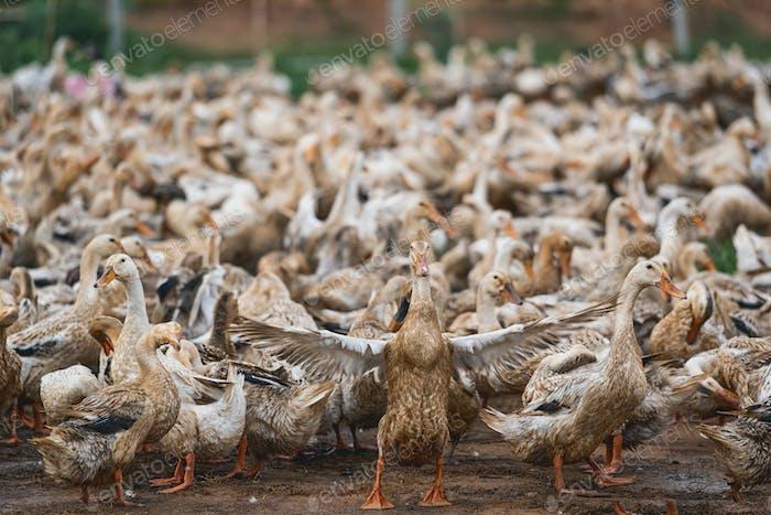 A lot of ducks at Open farm in vietnam, leader of ducks Spread wings,