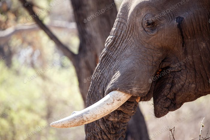 Male Bull Elephant - Chobe N.P. Botswana, Africa
