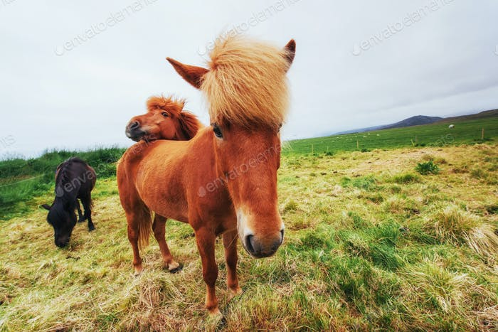 Icelandic horses in the pasture overlooking the mountains