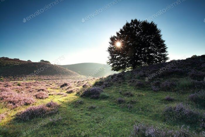 sunbeams through beech tree on hill