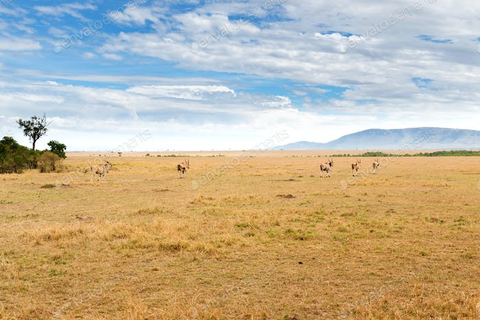 eland antelopes grazing in savannah at africa
