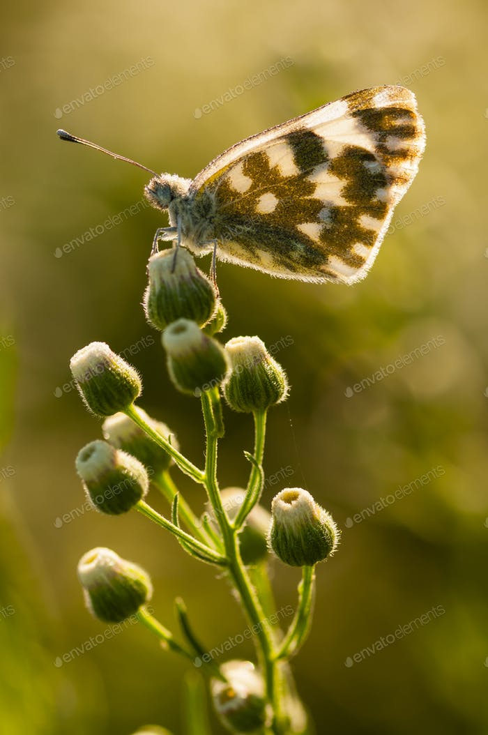 Häufiger Schmetterling mit Tautropfen bedeckt