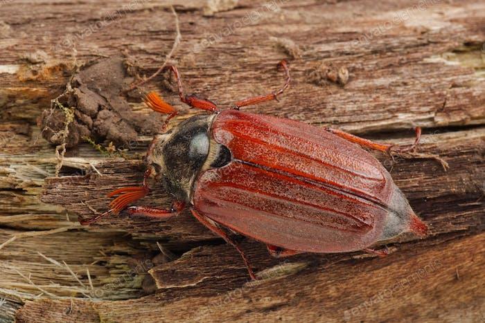 Cockchafer (Melolontha melolontha) auf einem Holz