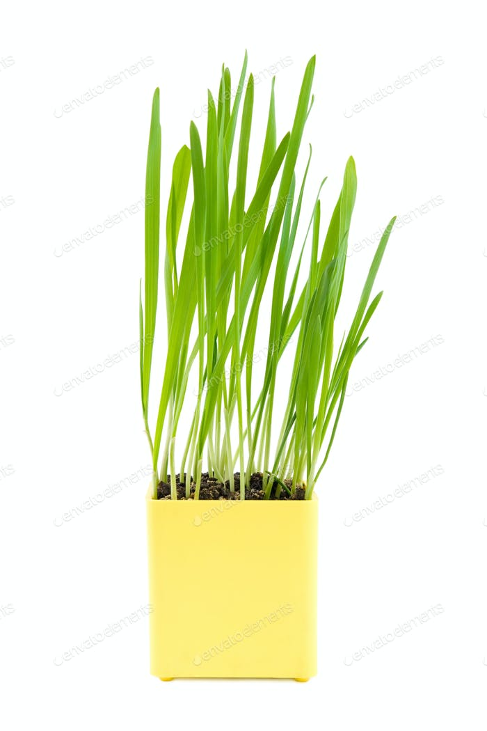 Green grass in the yellow pot