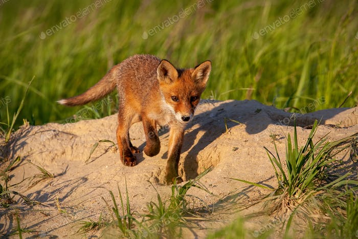 Little red fox walking down the hill in sunny spring nature with copy space