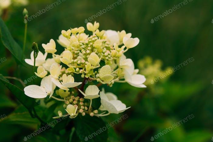 Knospen Von Hortensie Paniculata Siebold Rednia. Panikelhydrangea