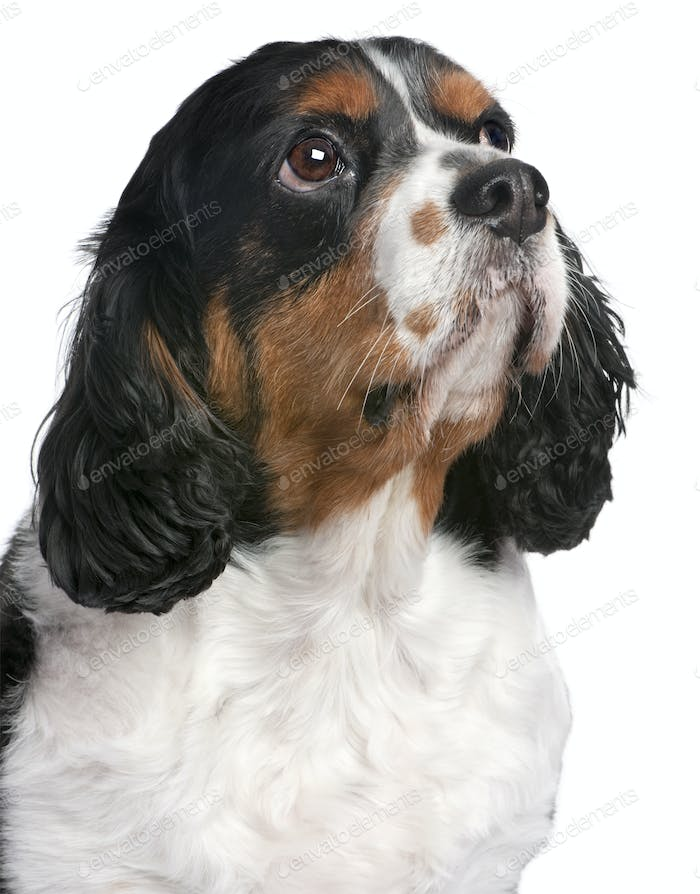 Close-up Cavalier King Charles Spaniel (4 Jahre)