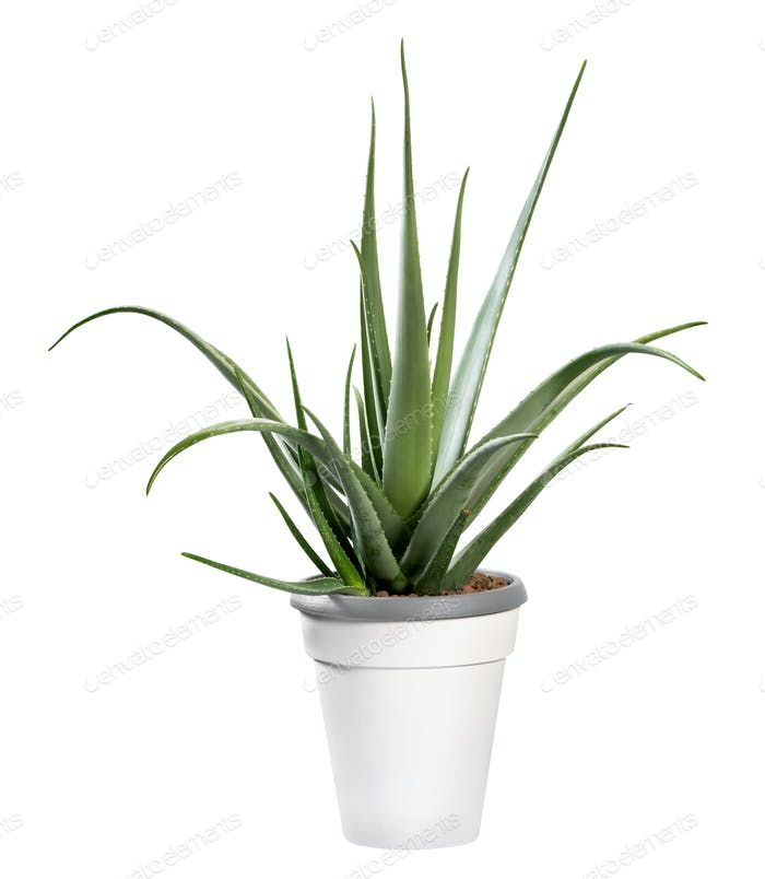 Potted Aloe vera plant isolated on white