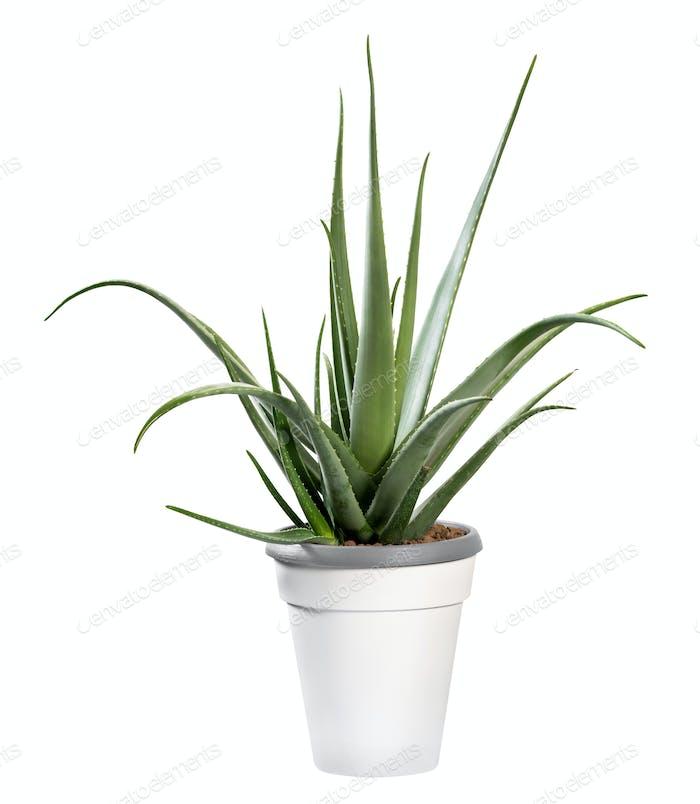 Topfpflanzen Aloe Vera isoliert auf weiß