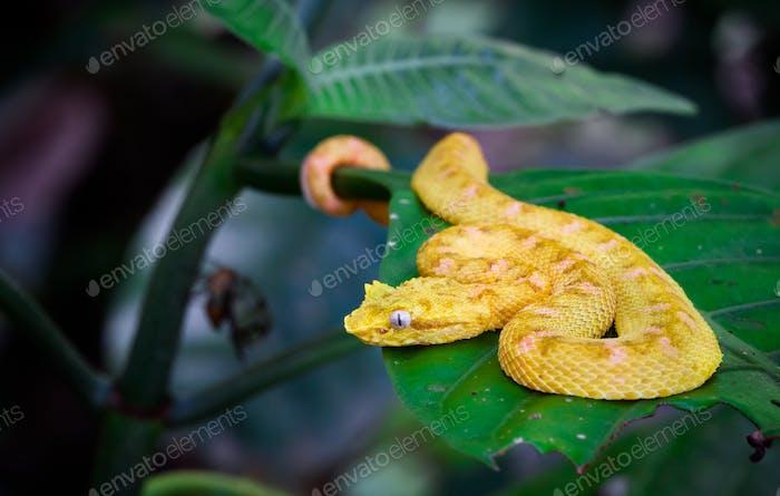 Wimpern Viper auf einem Blatt in Costa Rica