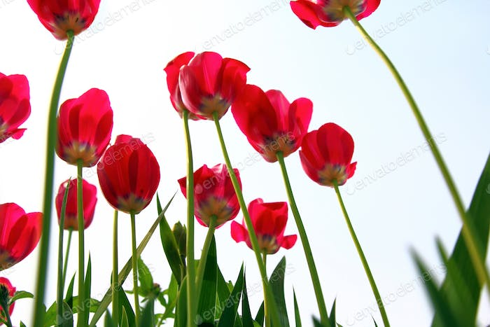 Red tulips, view from below against the sky.