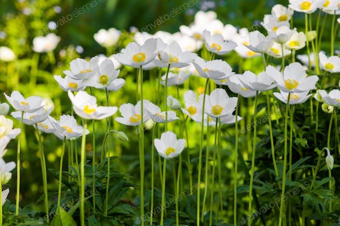 Schneeglöcken-Anemone - Anemone sylvestris- in der Frühlingssaison. Flacher Fokus