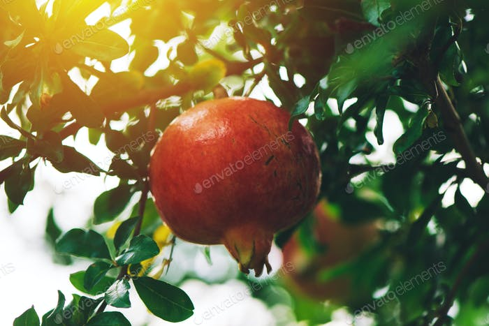 Ripe pomegranate fruit on the tree branch