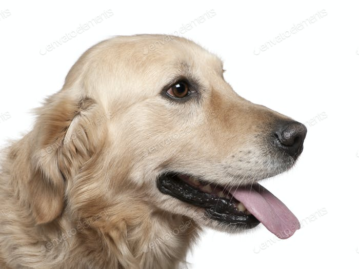 Close-up of Labrador retriever, 4 years old, in front of white background