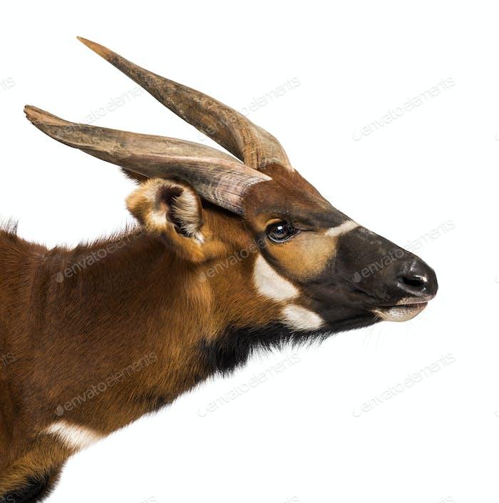 Bongo, antelope, Tragelaphus eurycerus against white background