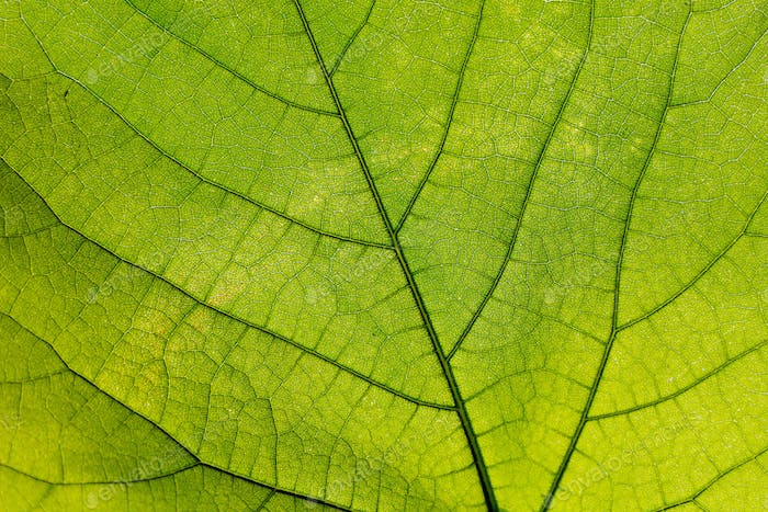 Green leaf with veins, closeup