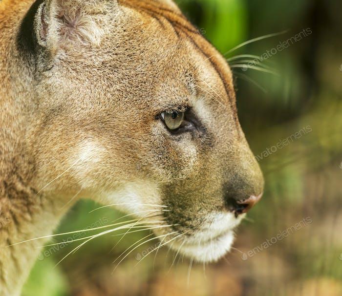 Puma Cat Portrait