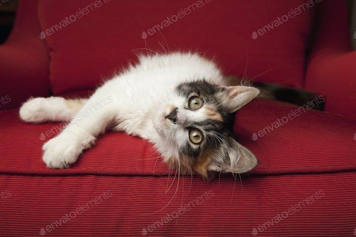 Ein Kätzchen auf einem roten Sofa, auf der Seite liegend.