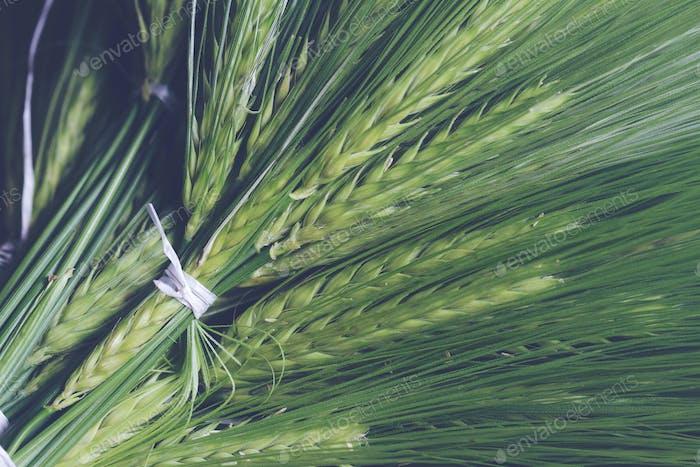 frischer grüner Weizenbündel