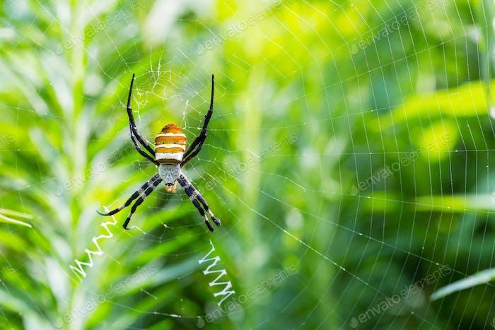 wasp spider closeup