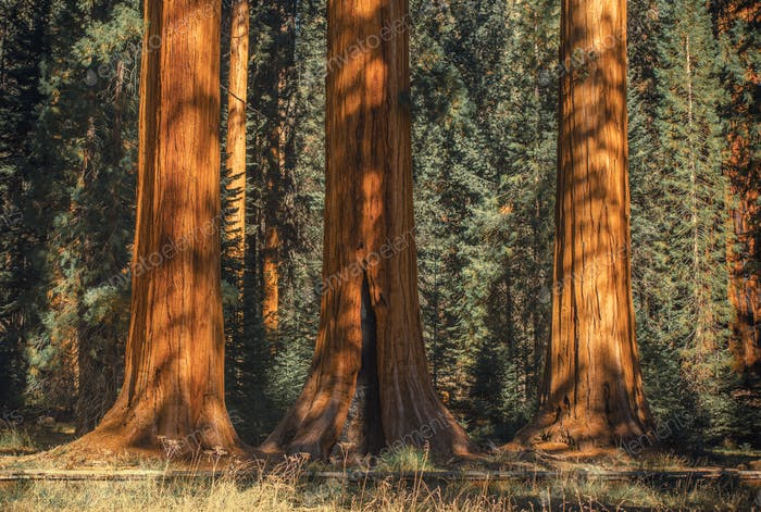 Three Ancient Sequoias