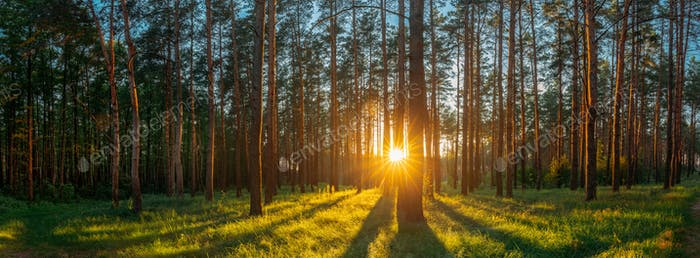 Sunset Sunrise Sun Sunshine In Sunny Summer Coniferous Forest. S