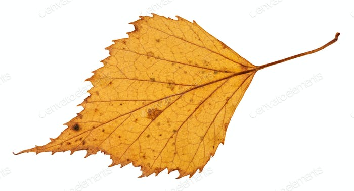back side of dried leaf of birch tree isolated