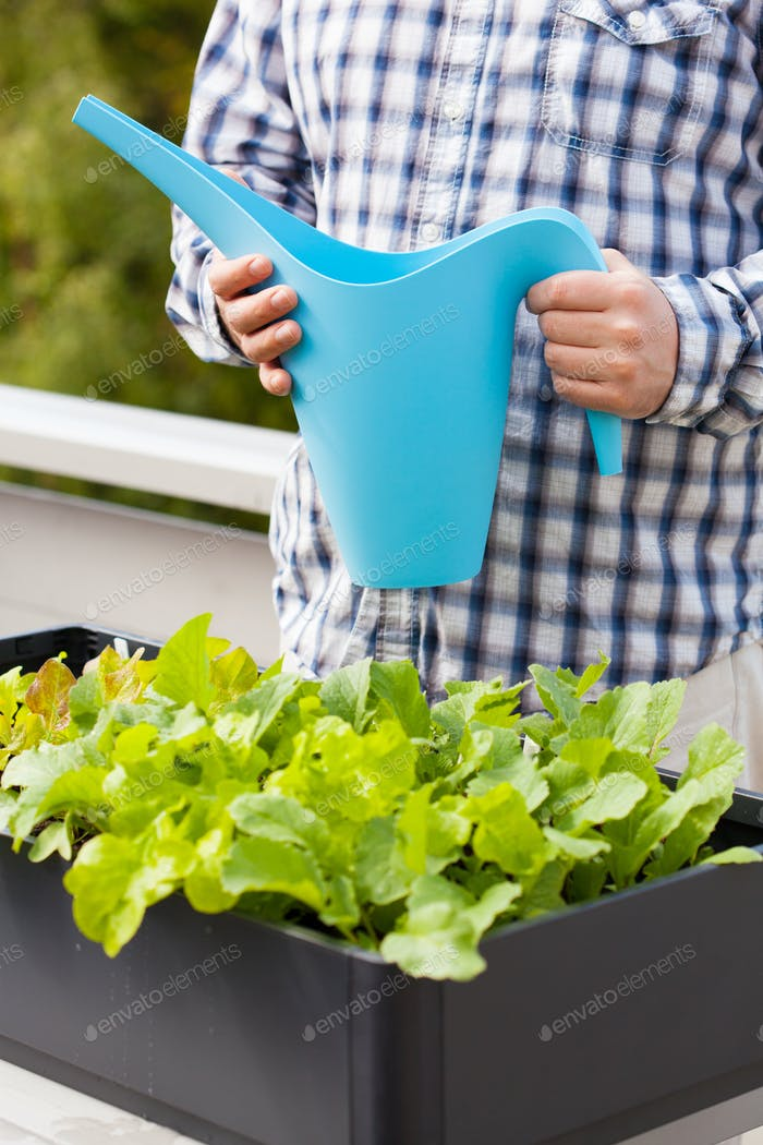 kitchen garden in balcony Man Watering Vegetable Garden In Container On Balcony Photo